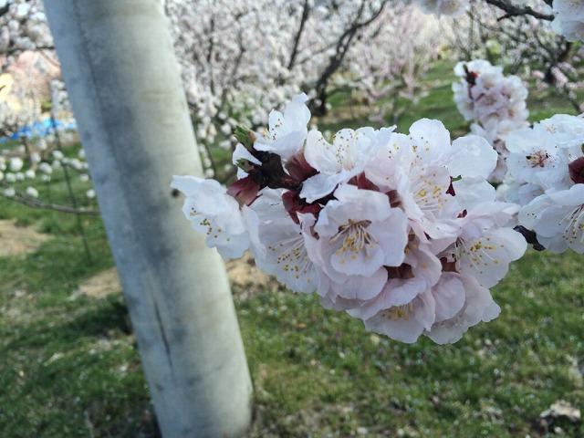 千曲市森の杏の里!あんずの花は一見の価値あり